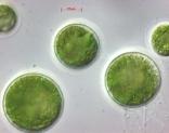 uninfected-haematococcus-2-200x158